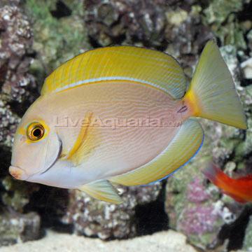 Saltwater aquarium fish for marine aquariums dussumieri tang for Tang saltwater fish
