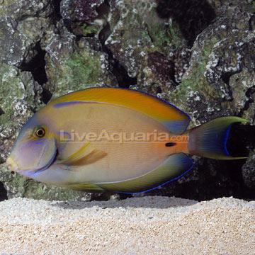 Saltwater aquarium fish for marine aquariums fowleri tang for Tang saltwater fish