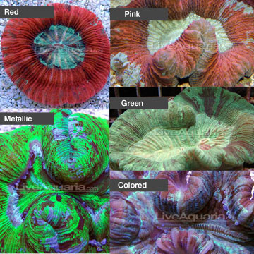 Aquarium corals for marine reef aquariums brain coral trachyphyllia