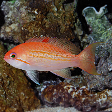 Blood Spot Anthias