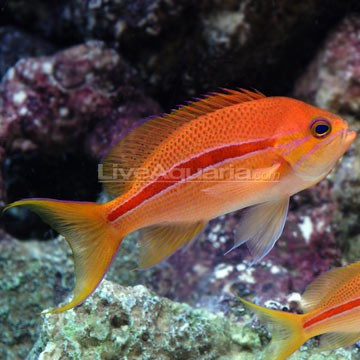 Saltwater aquarium fish for marine aquariums red striped for Red saltwater fish
