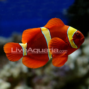 Yellowstripe Maroon Clownfish, Captive-Bred