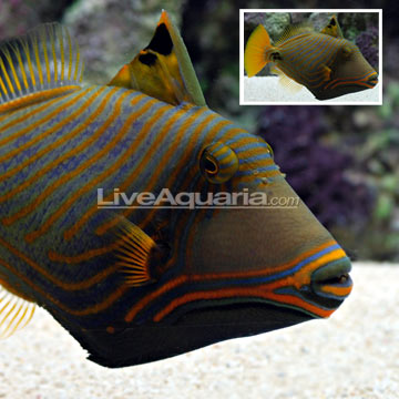 ماشه ماهی موج دار ( undulate triggerfish )
