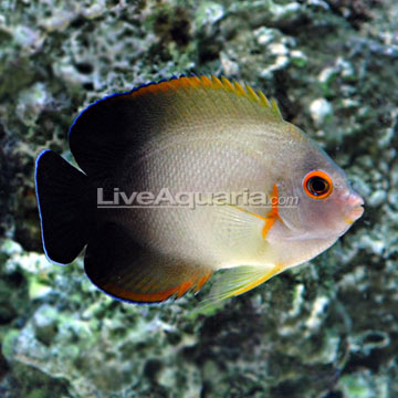 Saltwater Aquarium Fish for Marine Aquariums: Half Blac