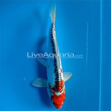 Doitsu High Quality Koi, Japan Strain