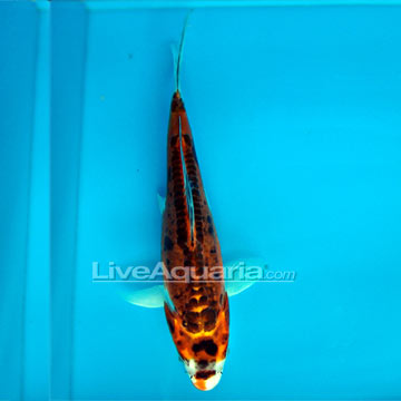 Doitsu Kujaku High Quality Koi, Japan Strain