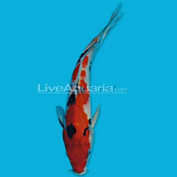 High quality koi fish for freshwater garden ponds tri for Koi pond kh level
