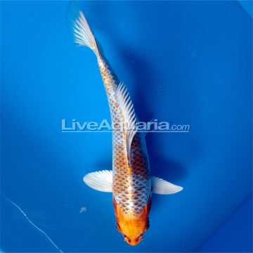 High quality koi fish for freshwater garden ponds kujaku for High quality koi