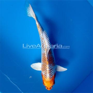 High quality koi fish for freshwater garden ponds kujaku for Koi pond kh level