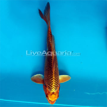 Matsuba High Quality Koi, Japan Strain