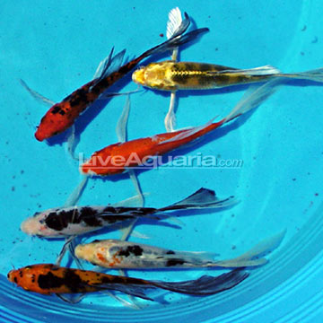 Assorted Butterfly Koi