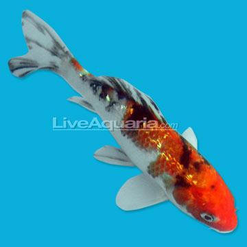 High quality koi fish for freshwater garden ponds ginrin for Koi pond kh level