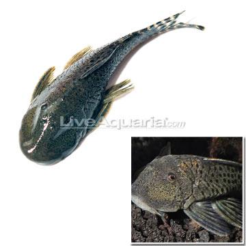 Tropical Fish for Freshwater Aquariums: Pitbull Pleco (LDA 25)