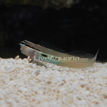 Two Spot Bimaculatus Blenny
