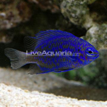 دامسل آبی کبود ( blue sapphire damsel fish )
