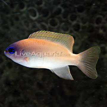 Pink Smith Damselfish