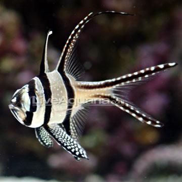 کاردینال ماهی کادرن (kauderns cardinal )