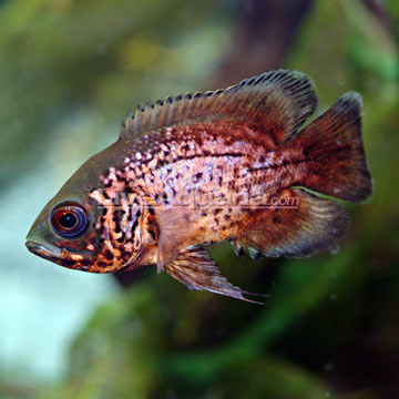 Lahore Fish Store Aquarium Fish Food High Grade For Meat Family Small Pack 6954787 further 3682 moreover Plasma Art Tropical Aquarium Cichlids 146935 in addition Cetoscarus Bicolor Parrotfish 241425 furthermore Salvini. on oscar family cichlids fish