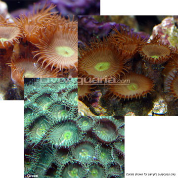 Button Polyp