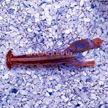 39414-Pistol-Shrimp.jpg