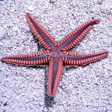 Blue & Pink Sea Star
