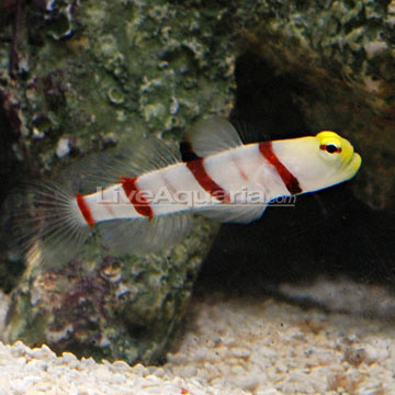 Dracula Goby