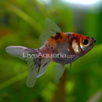 http://www.liveaquaria.com/images/categories/product/p-39506-fantail-goldfish-calico.jpg