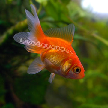 Tropical Fish for Freshwater Aquariums: Fantail Goldfish, Red