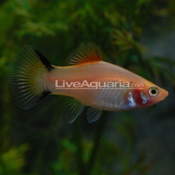 Gold Twin Bar Platy
