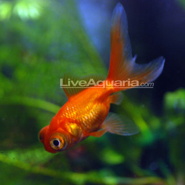 Tropical fish for freshwater aquariums telescope goldfish for Fish that can live with goldfish