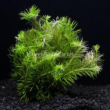 Aquatic Plants for Freshwater Aquariums: Rotala Nanjenshan