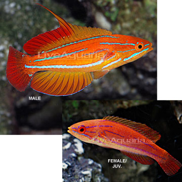 Red Tail Flasher Wrasse