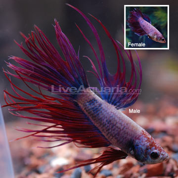 Tropical fish for freshwater aquariums violet crowntail for Betta fish diet