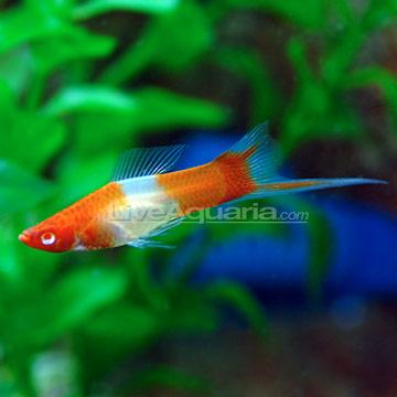 Tropical fish for freshwater aquariums koi swordtail for Ph for koi fish