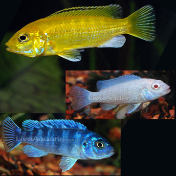 Tropical Fish For Freshwater Aquariums Mbuna Mixed Cichlid