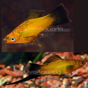 Marigold Wag Swordtail