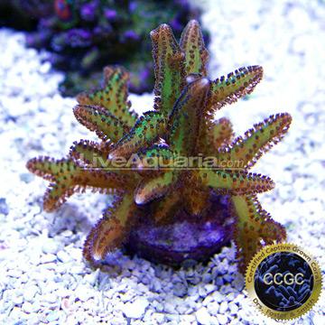 Purple Polyp Green Birdsnest Coral, Aquacultured (Seriatopora hystrix)
