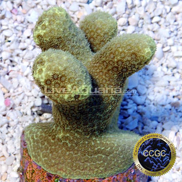 ... Aquarium Corals for Marine Reef Aquariums: Canary Porities Coral