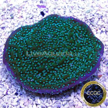 Saltwater Aquarium Corals for Marine Reef Aquariums: Neon Polyp True ...