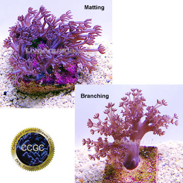 Aquarium Corals for Marine Reef Aquariums: Asterospicularia Coral ...