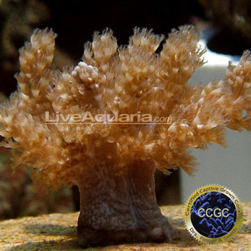 Taro Tree Coral - Aquacultured