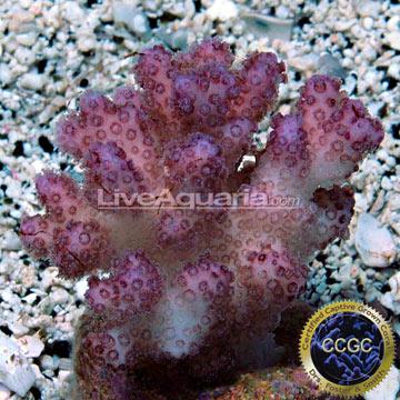 ... Corals for Marine Reef Aquariums: Pink Peony Pocillopora Coral