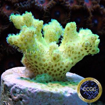 ... Corals for Marine Reef Aquariums: Cadmium Pocillopora Coral