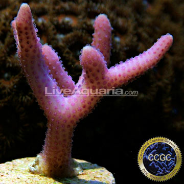 Pink Thick Branch Birdsnest Coral - Aquacultured