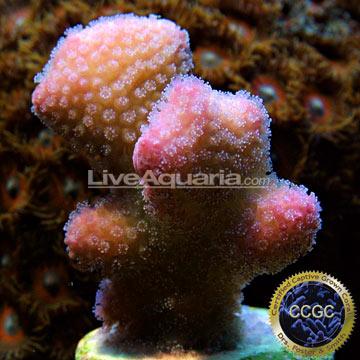 ... Corals for Marine Reef Aquariums: Rose Stylophora Coral - Aquacultured