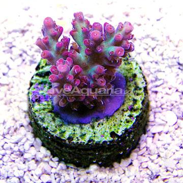 ... Corals for Marine Reef Aquariums: Strawberry Shortcake Acropora Coral