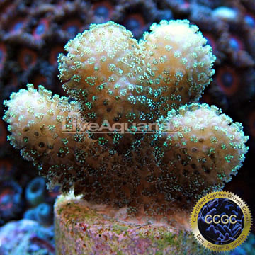 Butternut Stylophora Coral, Aquacultured