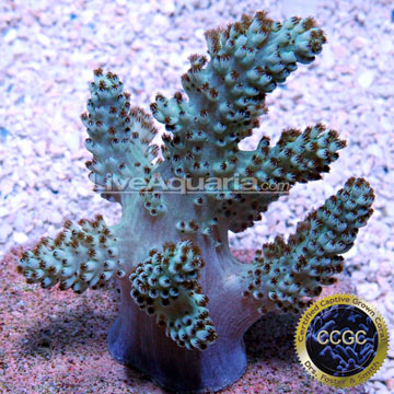 ... Corals for Marine Reef Aquariums: Neon Pineapple Tree Coral