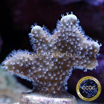 ... Corals for Marine Reef Aquariums: Blue Ridge Coral - Aquacultured