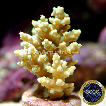 ... Corals for Marine Reef Aquariums: Wildwood Bottle Brush Acropora Coral